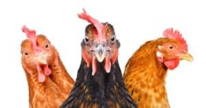 Nuisances sonores : quand les poules caquettent !